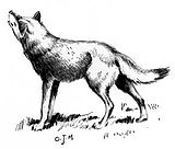Illustration de loup